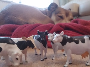 My chuck out started with my extensive plastic cow collection. (Shackleton seemingly unmoved/confident I won't get rid of him)
